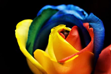 By Lucy Roberts from Bartlesville, OK (Rainbow Rose Uploaded by LongLiveRock) [CC-BY-2.0 (http://creativecommons.org/licenses/by/2.0)], via Wikimedia Commons