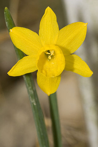 *'''Description:''' ''Narcissus calcicola'' {{en|?}} {{de|?}} *'''Source:''' picture taken by Olaf Leillinger at 2006-04-22 *'''License:''' CC-BY-SA-2.5 and GNU FDL *'''en:''' Please report references to [mailto:olei@despammed.com o
